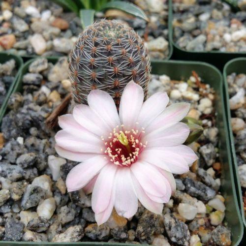 Mediolobivia rosalviflora pygmaea Cactus Cacti Succulent Real Live Plant