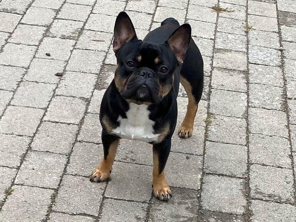 Fransk bulldog, flere hvalpe, 2 år