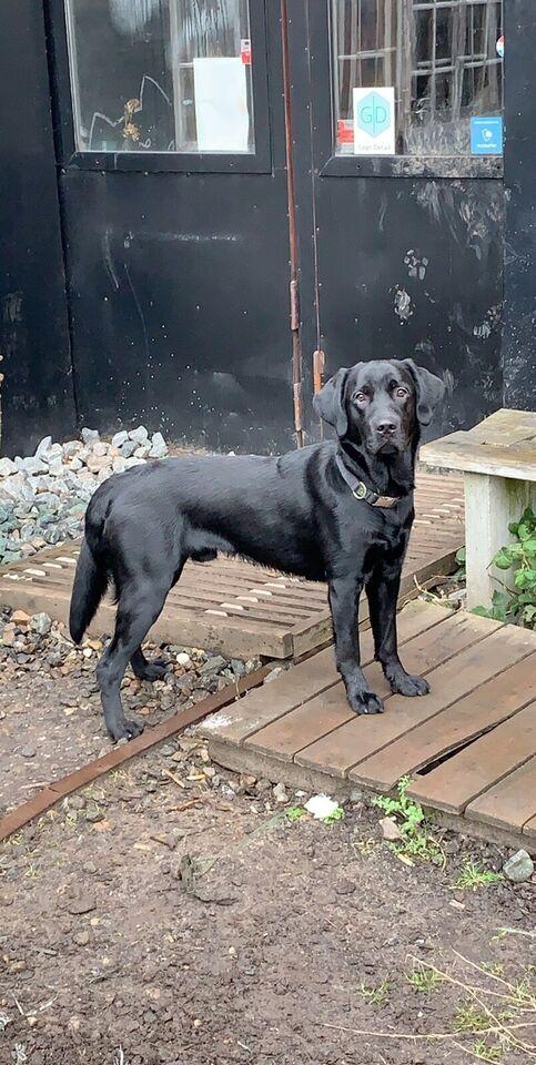 labrador/golden retriever, hund, 12 mdr.