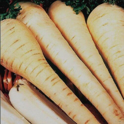 Gemüse Pastinake Weiß Gem Mindestens 200 Samen
