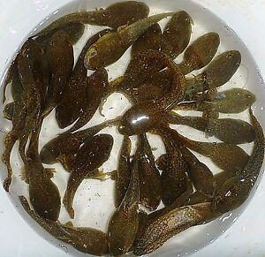 200-Lot-Live-Bullfrog-Tadpoles-Algae-Control-For-Koi-Pond-Overnight-Shipping-PKF