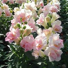 Pack Flower Seeds Antirrhinum Twinny Appleblossom F1 King's Seed