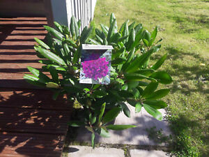 Rhododendron In Pot.Details About Rhododendron Marcel Menard 30 40cm Tall In 5l Pot Purple Velvety Flowers