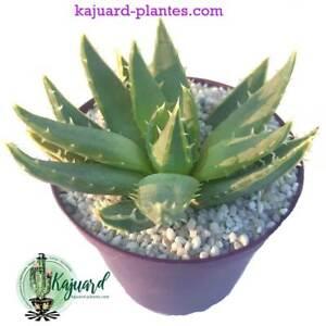 ALOE POLYPHYLLA succulentes ジューシーな アロエ多肉植物 芦荟 suculentas caudex cactus piantes