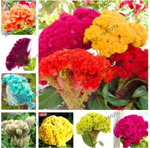 Bonsai-100-Pcs-Graines-Qizhan-fleurs-Celosia-Mix-Color-plantes-RARE-2019-NEW-N