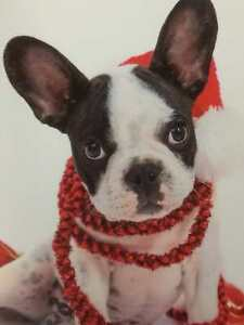image is loading trimmerry festive boston terrier christmas cards dog in