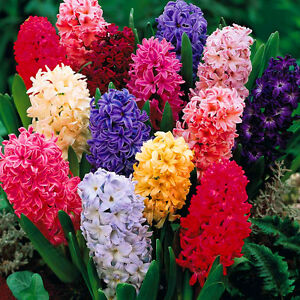 Image Is Loading Hyacinth Mixed Colours Indoor Outdoor Spring Flowering Orientalis