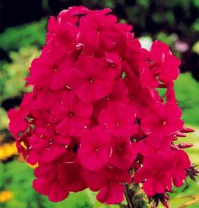 Plantes-de-jardin-100-Pcs-Graines-Vivace-Phlox-Bonsai-Planter-des-fleurs-NEUF-2018-R-P