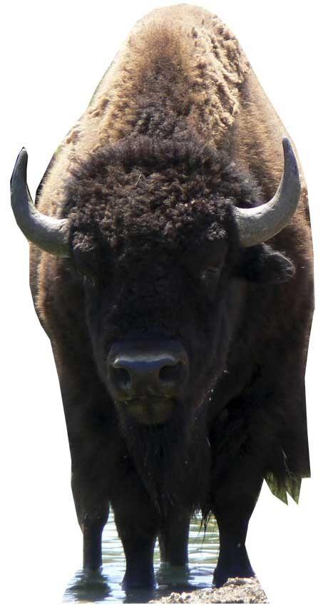 Bison - Lebensechte Größe Pappfigur Aufsteller