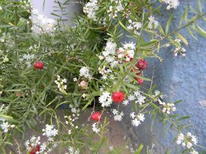 Asparagus-racemosus-SHATAVARI-Herb-Seeds