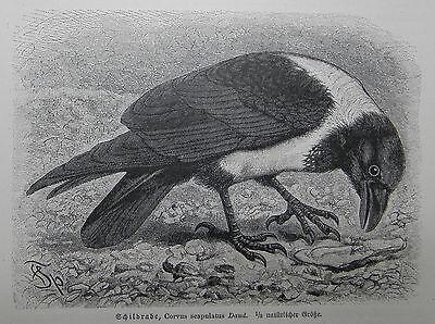 GroßZüGig Schildrabe Corvus Albus Rabe Raben Rabenvogel Holzstich Von 1912 Ornithologie