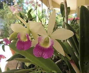 RON-Advanced-Cattleya-Orchid-mericlone-Bc-Hawaii-Stars-039-Hsinying-039-FS-964