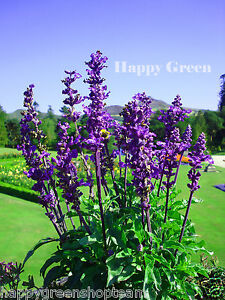 Mealycup sage salvia farinacea 140 seeds beautiful perennial image is loading mealycup sage salvia farinacea 140 seeds beautiful perennial mightylinksfo