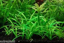 20+ Dwarf Sagittaria Subulata Beginner Foreground Live Aquarium Plants Moss ADA