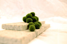 "Marimo Moss: 10 Cladophora balls 1/4""-1/2"" (0.635-1.27cm) U.S Seller!!"