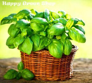 BASIL-ITALIAN-GENOVESE-8100-seeds-ROYAL-HERB-Ocimum-Basilicum-HERB