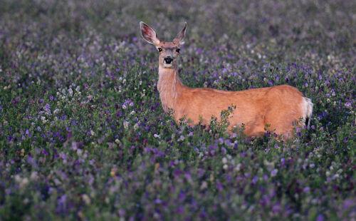 SeedRanch Luzerne Deer Food parcelle Graines - 50 LB (environ 22.68 kg) (plantes 1.83 Acres)