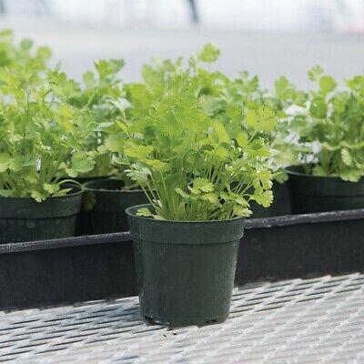 CORIANDER SANTO 80 Seeds SLOW BOLT Corriander Culinary Herb Cilantro HEIRLOOM