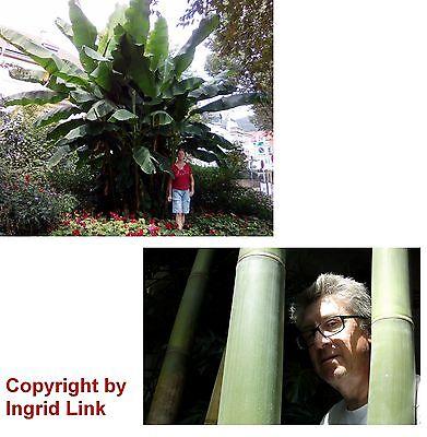 Esotica Giardino Pianta Semi Inverno Sementi Frutta Albero Gigante-banana + Bambù-bambus It-it Mostra Il Titolo Originale
