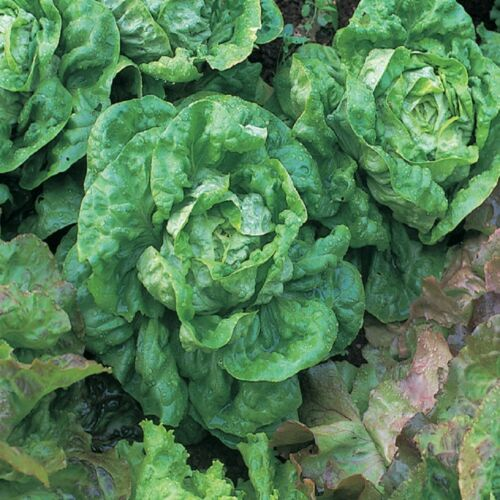 Vegetable Lettuce All Year Round Appx 2000 seeds