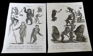 Image is loading 2-Antique-Book-Plates-Ape-&-Baboon-Monkey- & 2 Antique Book Plates Ape u0026 Baboon Monkey Species Andrew Bell 1726 ...