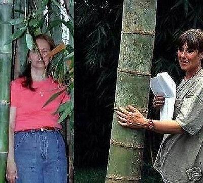 Toller winterharter Riesen-Bambus bis 20 Meter hoch schnellwüchsig / Samen /