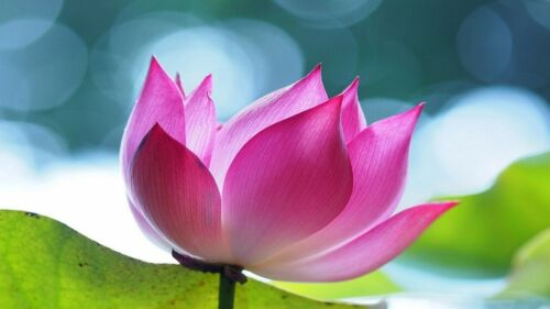 Graines Rose Fleurs de Lotus Nelumbo Nucifera Bassin Plantes Bonsai Maison Jardin 5 pcs