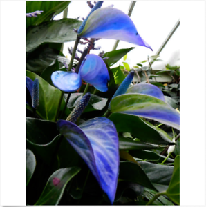 Image Is Loading 100 Blue Anthurium Seeds Indoor Potted Hydroponic Flowers