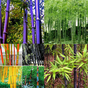 100 Black Purple Green Phyllostachys Pubescens Moso Bamboo Seeds