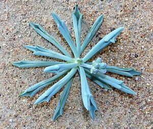 BLUE-Senecio-or-Kleinia-Collection-20-cuttings-5-types-PLUS-1-RARE-new-hybrid