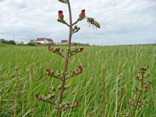 Fleur Sauvage-eau figwort-Scrophularia Auriculata 1000 graines