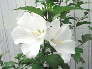 Hibiscus Syriacus Diana White 10 Seeds Ebay
