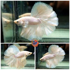 Live Betta Fish Male Fancy Solid White Rosetail Halfmoon #V564