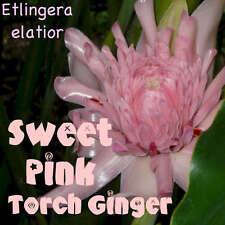 ~SWEET PINK~ TORCH GINGER Etlingera elatior RARE Thai Zingiberaceae 15 Seeds