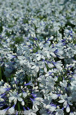 New Agapanthus Twister  bicolour flower hardy  garden perennial plants