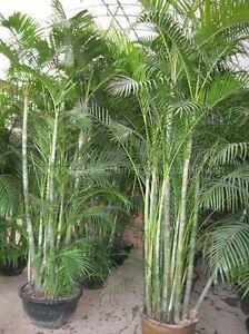 Dypsis-lutescens-Goldfruchtpalme-schnellwuechsige-Zimmerpalme-10-Samen