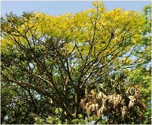 Mexican-Tree-Fern-Tree-schizolobium-parahyba-4-Reliable-Viable-Seeds