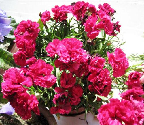 30 Seeds Of Each Pack Carnation Ornamental Flower Seeds Garden DIY A003 For Gift