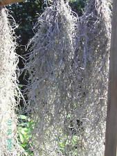 Tillandsia Usneoides, eine Pflanze
