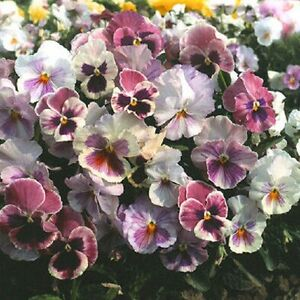 50-Pansy-Seeds-Character-Spring-Song-FLOWER-SEEDS