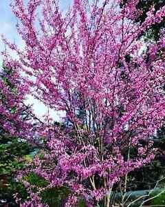 2 Live Plants American Eastern Redbud Trees Sapling Ornamental