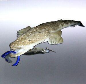 Flathead-Fish-photo-Vinyl-cut-sticker-Boat-Sticker-180-100mm-lazy-lizard-aussie