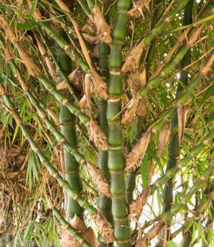 Buddha Bauch Bambus Bambusa Ventricosa 10 Samen