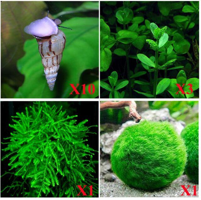 10+ Malaysian Trumpet Snails AND Three Types of Live Aquarium Plants (Java Moss)