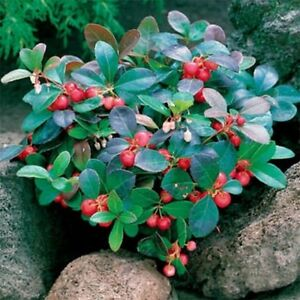 Wintergreen-Gaultheria-Procumbens-25-Seeds
