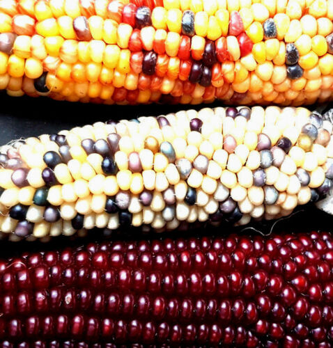 Bot. Zea Mays Japonica aussi pour clopinettes Arc-en-ciel-Maïs Rainbow joli maïs