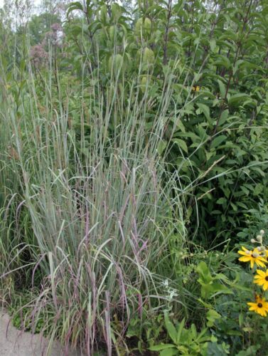 7,000 Ornamental BIG BLUESTEM GRASS Beardgrass Seeds USA seller