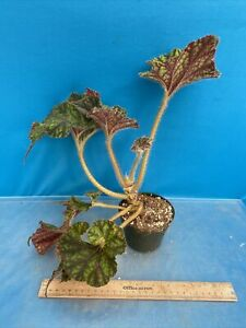 Begonia-Wild-Pony-4-Inch-Garden-Large-Shade-Plant-Easy-Care-Lovely-15