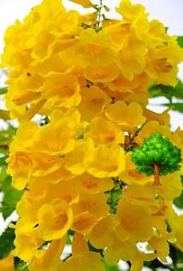 *uncle Chan* 50 Seed Golden Yellow Bells Bush Yellow Elder Trumpet Flower T C709