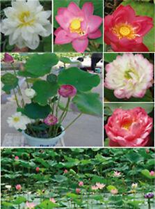 Indische Lotosblume Lotus Blume - Nelumbo nucifera, Schalenlotus, 5-20 Samen